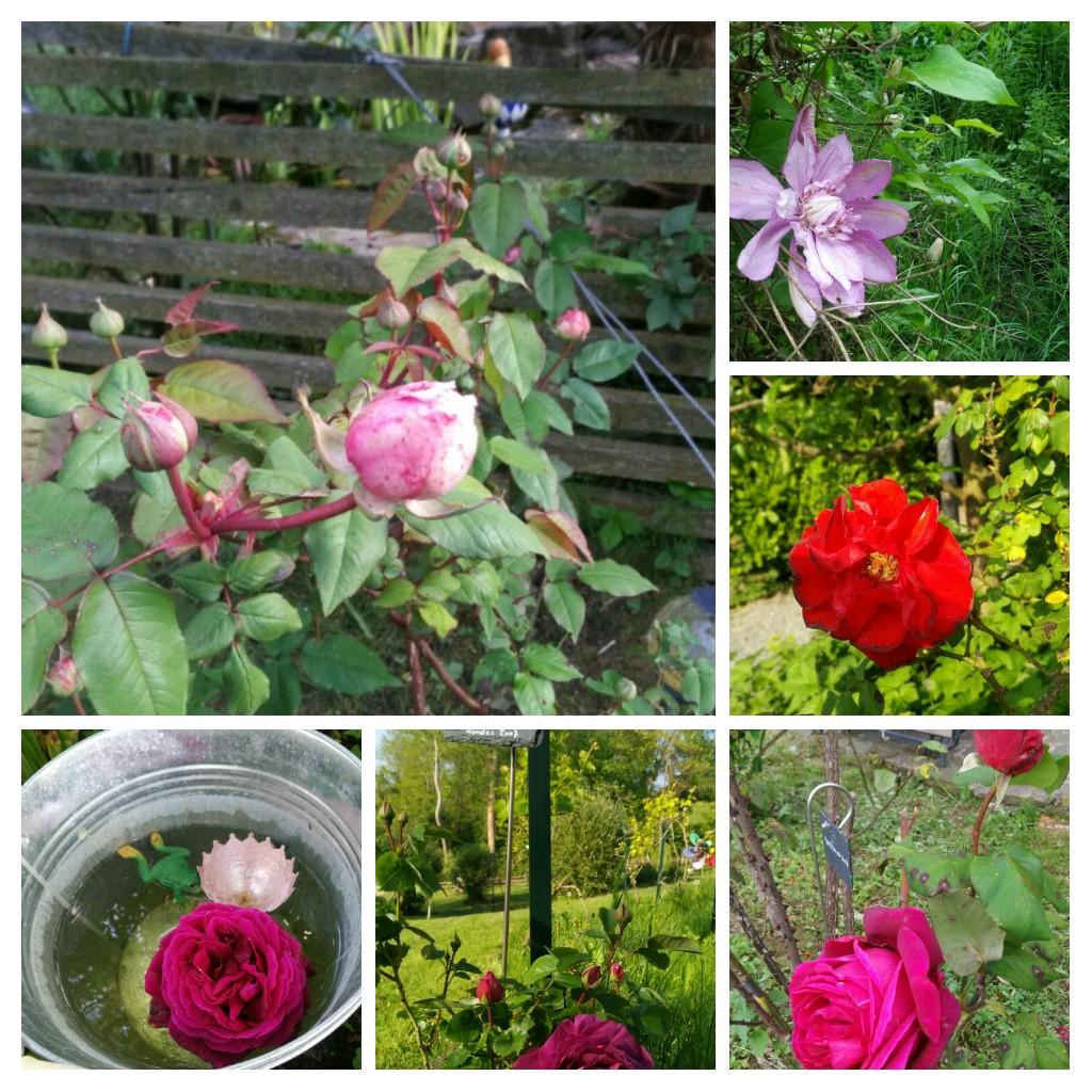 Rosenblüten in Cascina Madia