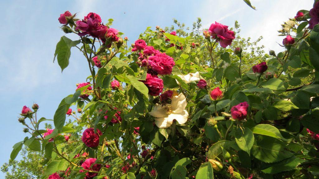 Noch mehr Rosen …