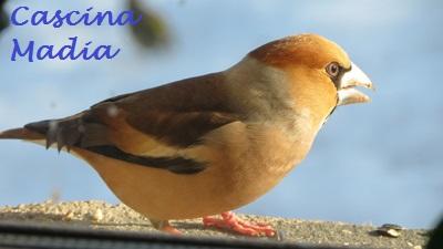Vögel im Winter, z.B. der Kernbeißer